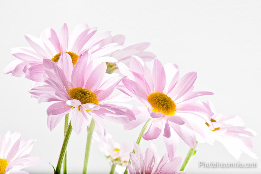 Backlit Flowers 10 Photo Insomnia