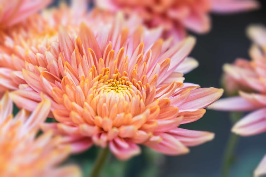 Chrysanthemum Orange