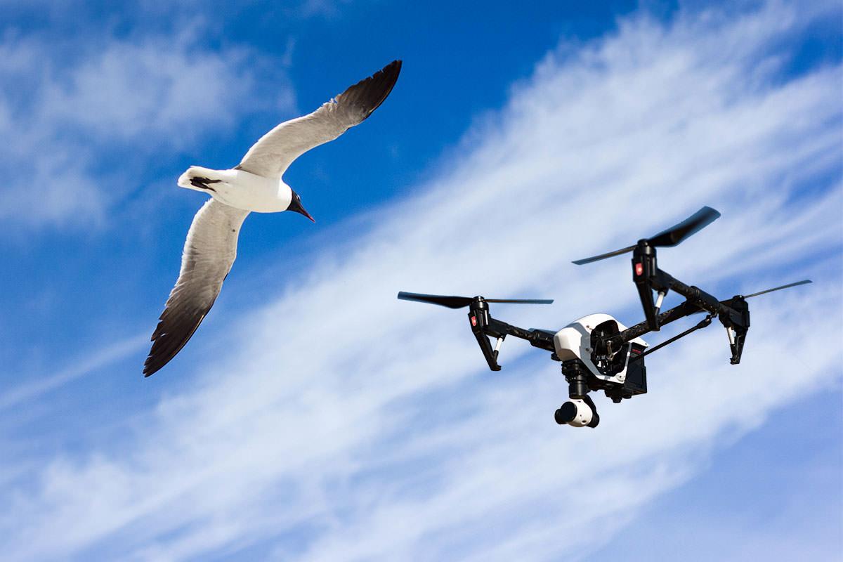 Seagulls vs Drones